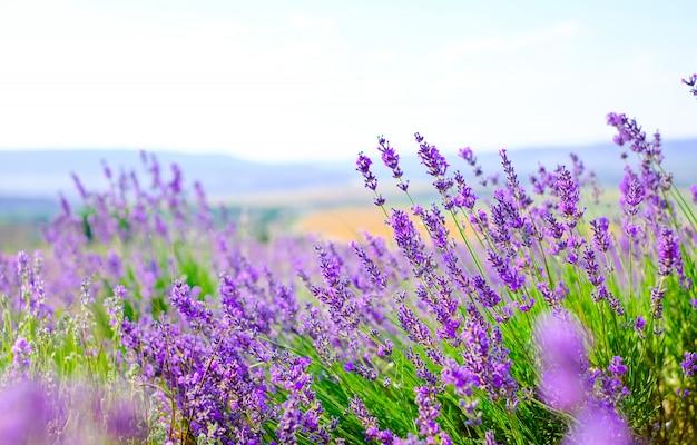 Blühendes lavendelfeld bei sonnigem wetter im sommer.