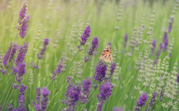 Blühendes lavendelfeld. schmetterling auf blumen. tiefenschärfe.