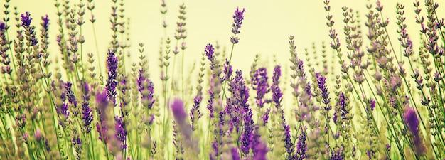 Blühendes lavendelfeld. sommerblumen. selektiver fokus