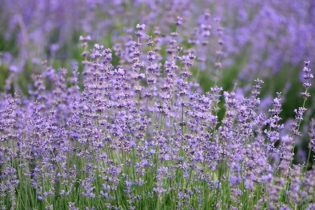 Blühendes lavendelfeld.