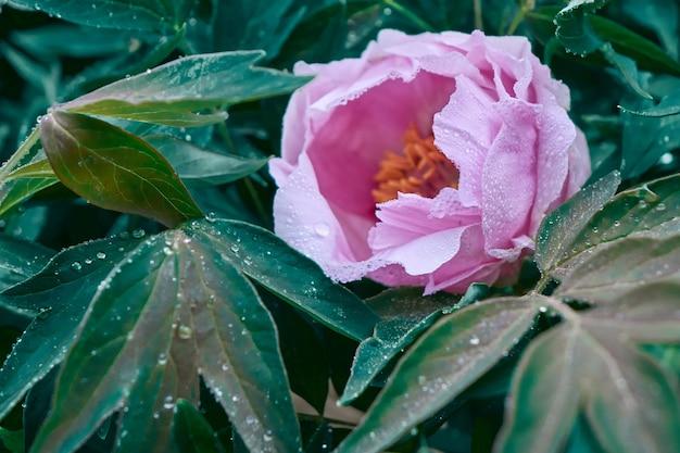 Blühendes rosa pion mit tautropfen. natürlicher blumenhintergrund