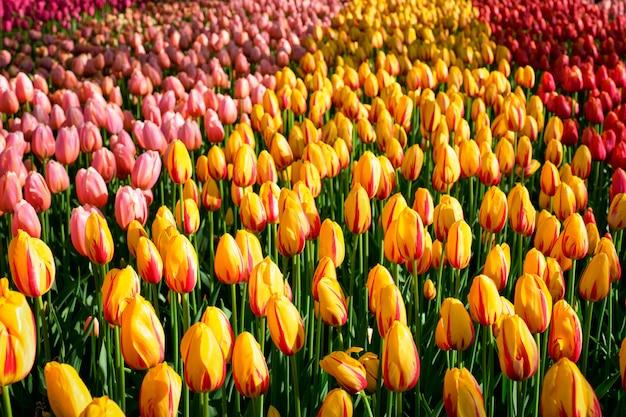 Blühendes tulpenblumenbeet im blumengarten keukenhof, niederlande