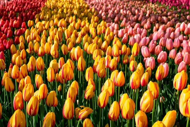 Blühendes tulpenblumenbeet im keukenhof-blumengarten, niederlande