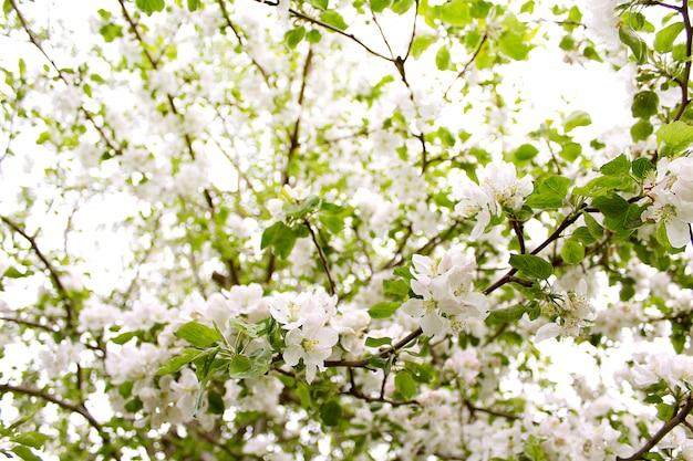 Blüht apfelfrühlingsgarten