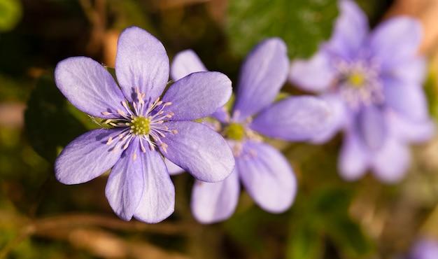 Blüht die lichtungen und erscheint als eine der ersten in einer frühlingssaison