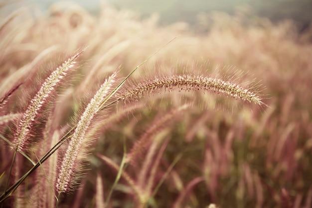 Blüht gras mit einem warmen licht morgens