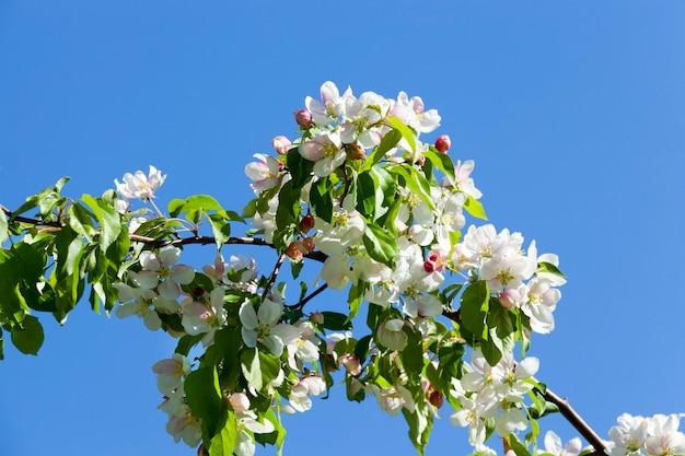 Blüht im april und mai mit schönen kirschbaumblüten. obstgarten, nahaufnahmefoto