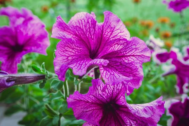 Blüht petunie in einem blumenbeet auf einem hintergrund der nahaufnahme des grünen grases mit kopienraum