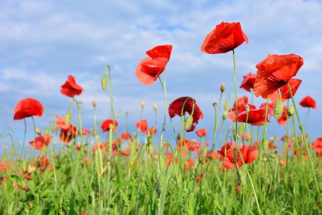 Blüht rote mohnblumen. blumenfeld. blauer himmel. nahaufnahme einer blume.
