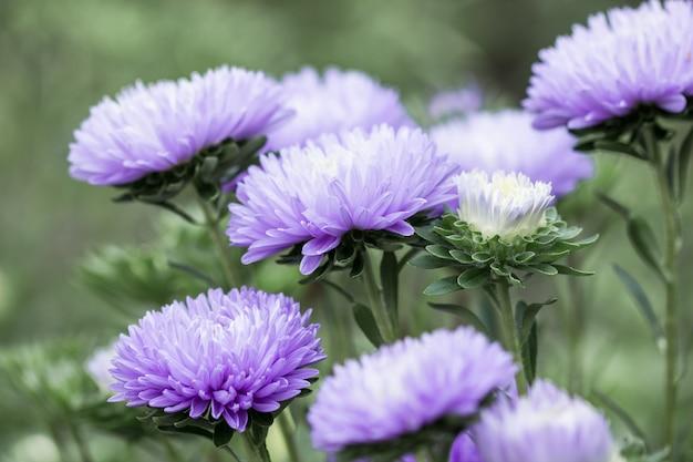 Blüte blaue aster callistephus nadel blume nahaufnahme vertikal. üppige frische blütenstände von callistephus, die im herbst in der natur blühen, hintergrundhintergrund zarte blütenblätter einer gartenaster