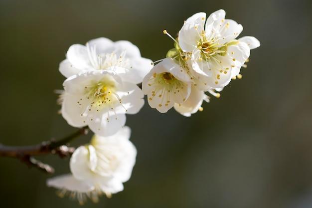 Blüte des aprikosenbaums im frühling mit schönen blumen.