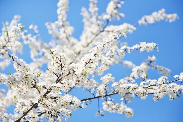 Blüte eines kirschbaums in einem garten im frühjahr bei sonnenuntergang. blühender kirschgarten im frühjahr. gartenarbeit im frühjahr. frühlingsblüte der bäume.