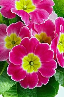 Blüte primula vulgaris mit blühenden knospen.