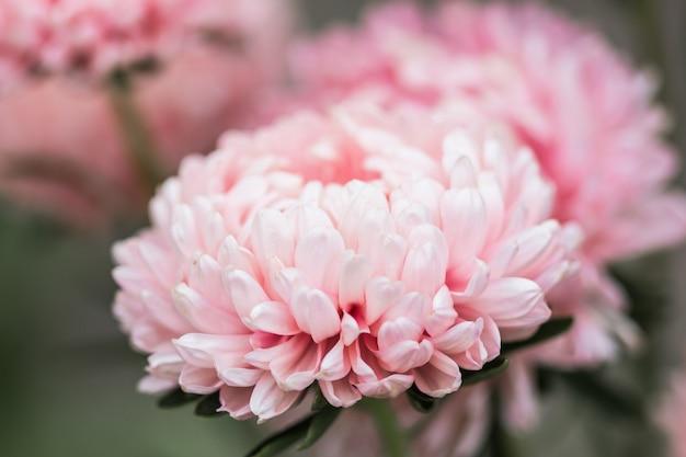 Blüte rosa aster callistephus nadel blume nahaufnahme vertikal. üppige frische blütenstände von callistephus, die im herbst in der natur blühen, hintergrundhintergrund zarte blütenblätter einer gartenaster