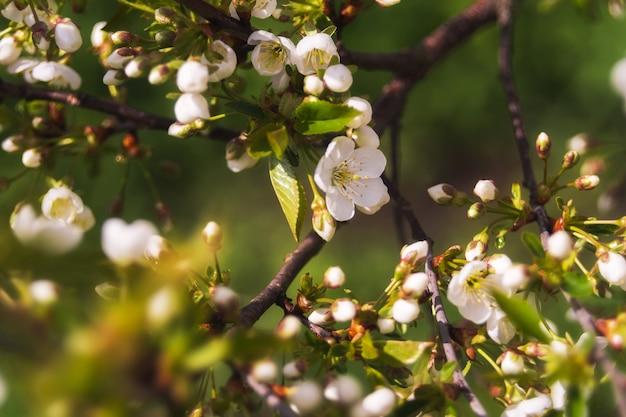 Blüte von kirsch- oder pflaumenblüten im frühling mit grünen blättern, makro.