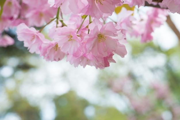 Blüte von rosa sakura-blumen auf einem frühlings-kirschbaum-zweig. makro nahaufnahme