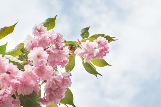 Blüte von rosa sakura-blumen auf einem frühlingsbaumzweig. makro nahaufnahme