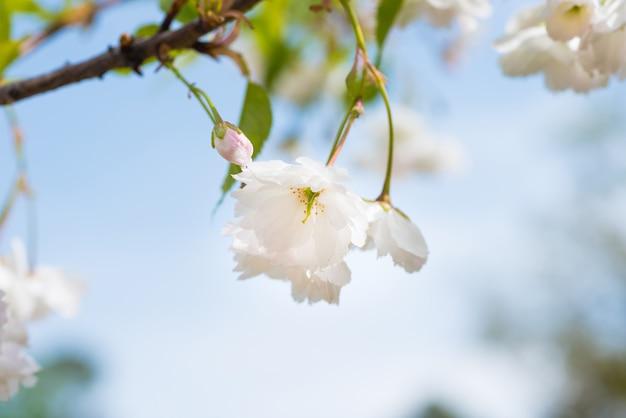 Blüte von weißen sakura-blumen auf einem frühlings-kirschbaum-zweig über blauem himmel. makro nahaufnahme
