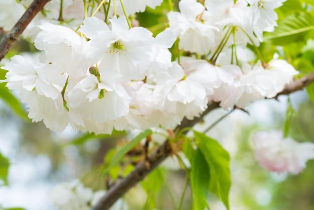Blüte von weißen sakura-blumen auf einem frühlingskirschbaumzweig. makro nahaufnahme
