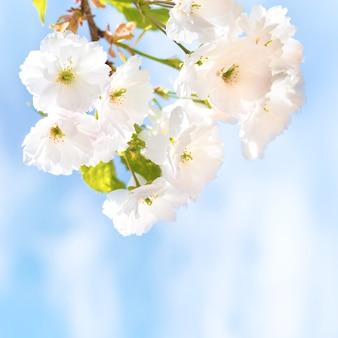 Blüte von weißen sakura-kirschblüten auf einem frühlingsbaumzweig über blauem himmel