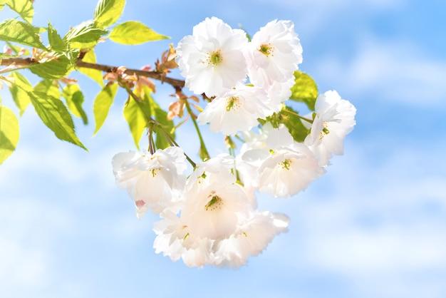 Blüte weißer sakura-blumen auf einem frühlingsbaumzweig über blauem himmel
