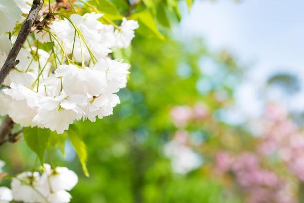 Blüte weißer sakura-blumen auf einem frühlingskirschbaumzweig über blauem himmel