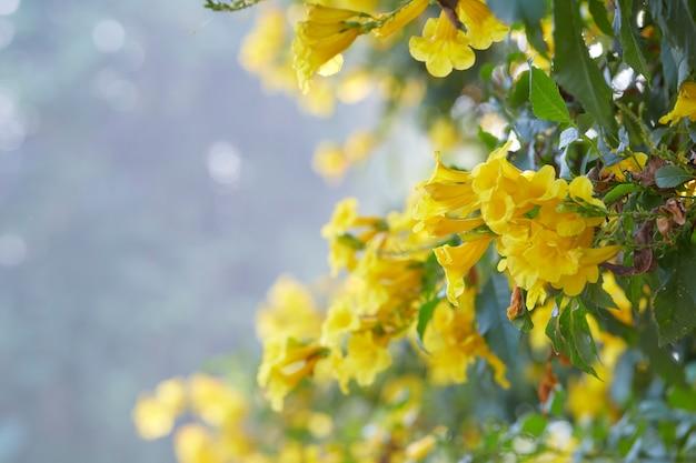 Blüten der gelben trompete, tecoma stans