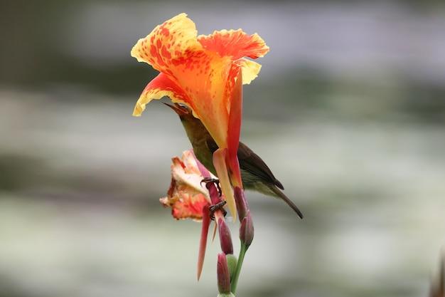 Blüten-orange canna blüht schöne farbe mit fütterungsnektar des vogels