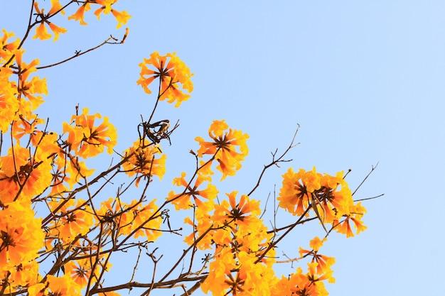 Blüten-zwergartiger goldener trumpf blüht mit blauem himmel. tabebuia chrysotricha blumen