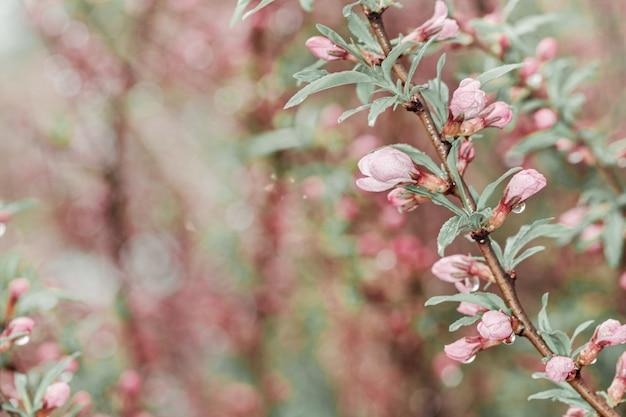 Blütenbaum mit kleinen rosa blumen und regentropfen über natur.
