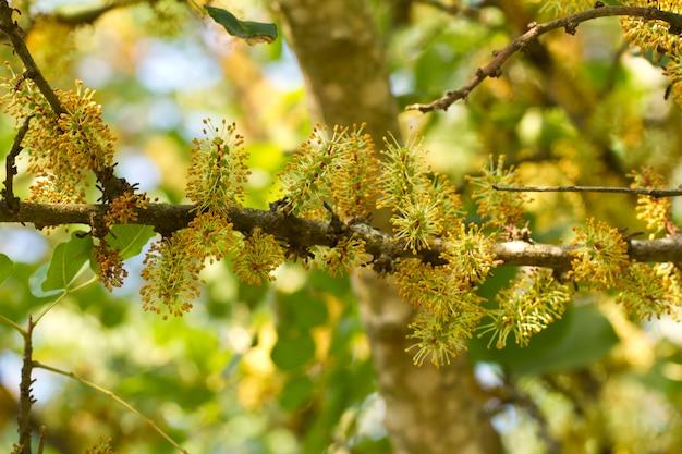 Blütenblumen des johannisbrotbaumbaums