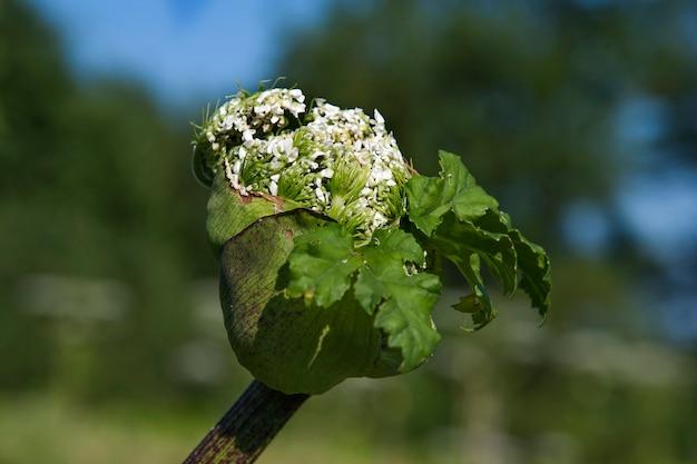 Blütenknospe auf gefährlicher pflanze heracleum sosnowskyi