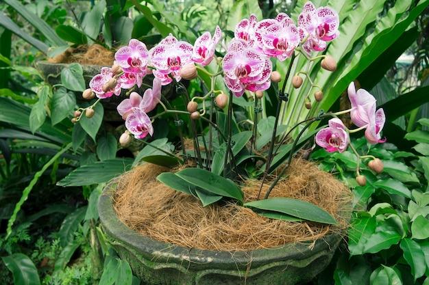 Blütenorchideenblüten im übersichtlichen topf im botanischen garten von singapur