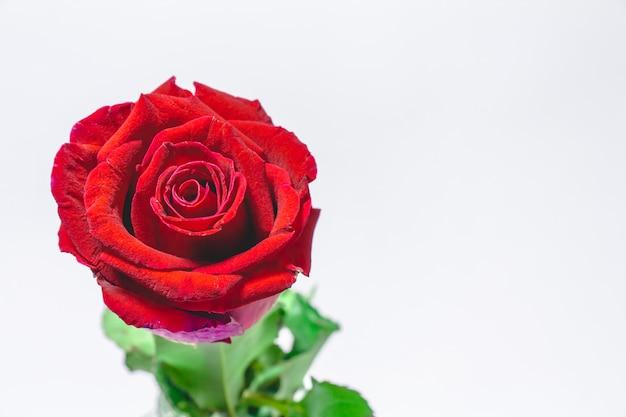 Blütenrotrose, valentinsgrußkonzept