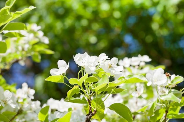 Blütenstand der birne mit weißen blüten im frühjahr, nahaufnahme