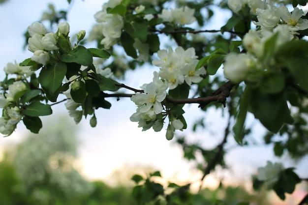 Blume apfelbaum makro
