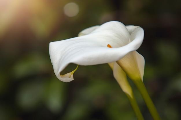 Blume calla lily. tölpelblume nahaufnahme