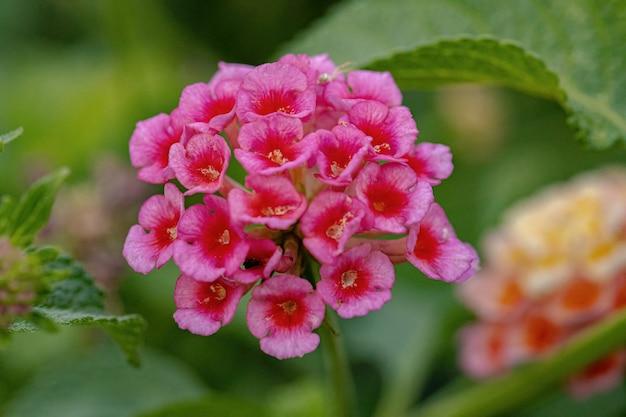 Blume der gemeinen lantana der art lantana camara mit selektivem fokus