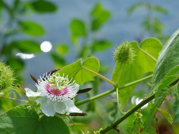 Blume der passiflora foetida frucht