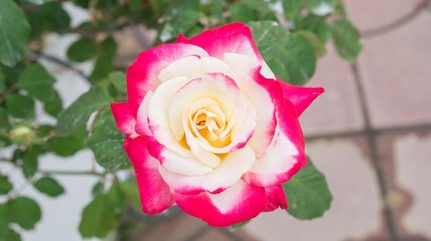 Blume der rosa und weißen rosen im garten.
