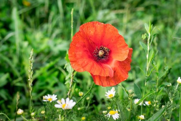 Blume der roten mohnblume auf dem feld mit kamille_