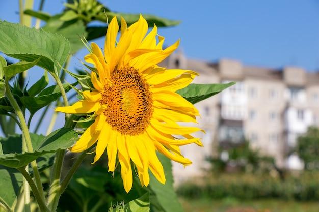 Blume der sonnenblume gegen die der stadthäuser bei sonnigem wetter