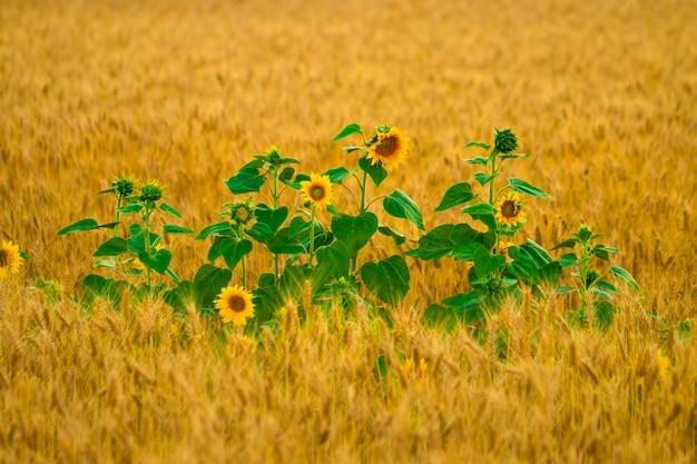 Blume der sonnenblume in einem weizenfeld.