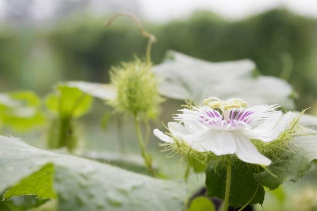 Blume der stinkenden leidenschaft.