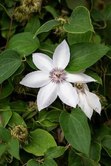 Blume der weißen clematis im frühlingsgarten