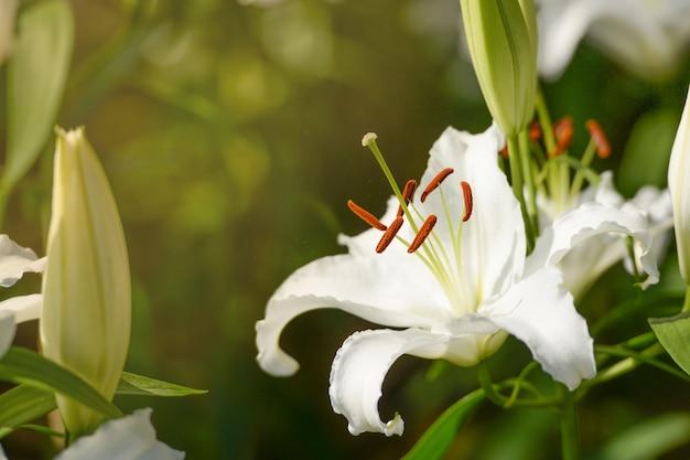 Blume der weißen lilie mit morgensonnenaufgang im garten