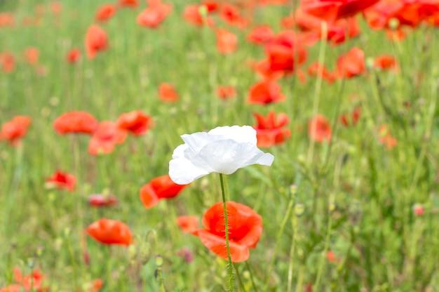 Blume der weißen mohnblume auf rotem mohnblumenhintergrund