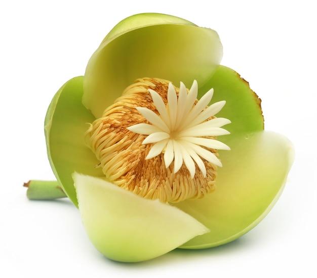 Blume des elefantenapfels oder chalta von südostasien