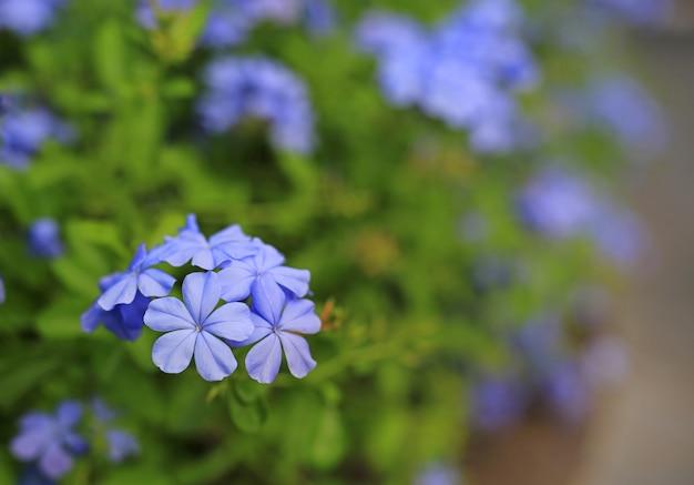 Blume des nahaufnahmekap leadwort (plumbago auriculata) im garten. selektiver fokus