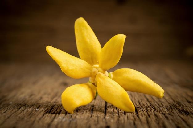 Blume, die ylang-ylang klettert, kletterndes ilang-ilang, manorangini, hara-champa kantali champa auf hölzernem